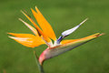 Bird of paradise flower close up Stock Image