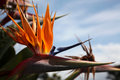 Bird of paradise flower a close up the or strelitzia Stock Photography