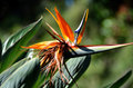 Bird of paradise flower closeup in bloom Stock Photos