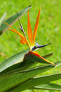 Bird of Paradise flower and green leaves Stock Image