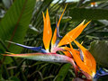 Bird of paradise flower hawaiian Royalty Free Stock Photos