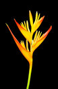 Bird of paradise flower isolated on black background Royalty Free Stock Photo