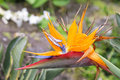 Bird of paradise flower in limahuli gardens kauai island Stock Photography