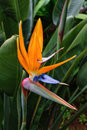 Bird of paradise flower of Madeira Island, Portugal Royalty Free Stock Photo