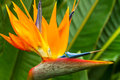 Bird of paradise flower a single in full bloom Royalty Free Stock Photos