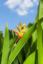 Bird of Paradise flower (Strelitzia Ait.) Stock Images