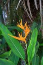 Bird of paradise flower strelitzia is a genus five species perennial plants native to south africa it belongs to the plant family Royalty Free Stock Photos