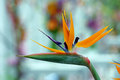 Bird of paradise flower strelitzia reginae beautiful Royalty Free Stock Images