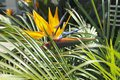 Bird of paradise flower in the tall grass Royalty Free Stock Photography