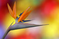 Bird of paradise flower tropical on colourful background Royalty Free Stock Photo