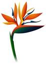 Bird of paradise flower on white background Royalty Free Stock Photo