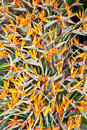 Bird of paradise flowers strelitzia bouquet beautiful Stock Photos