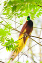 Bird of paradise lesser or paradisaea minor one the most exotic birds in papua new guinea Stock Photo