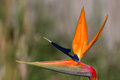 Bird of paradise plant in full bloom seasonal Stock Images