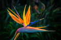 Bird of paradise plant in full bloom seasonal Royalty Free Stock Photos