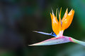 Bird of paradise strelitzia flower or crane flower in garden Stock Images