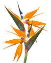 Bird of Paradise Strelitzia isolated Royalty Free Stock Images
