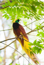 Bird of paradise on a tree in the jungle one the most exotic birds in papua new guinea Royalty Free Stock Images