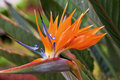 Bird of paradise a vibrant Royalty Free Stock Photography