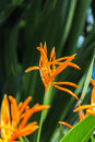 Bird of Paradise yellow flowers with a dark green leaf background in a garden. Royalty Free Stock Photo