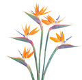 Bird Of Paradize Flower