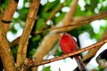 Bird passerine in aviary a perched on a tree branch an butterfly world south florida Stock Photography