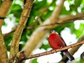 Bird passerine perched on branch a a tree in an aviary in butterfly world south florida Royalty Free Stock Photos