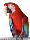 Bird portrait of scarlet macaw with white background Royalty Free Stock Images