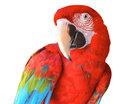 Bird portrait of scarlet macaw with white background Stock Images