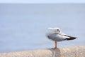 Bird preen its feathers on on rail bridge background alone seagull preening Royalty Free Stock Image