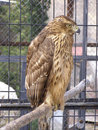 Bird of prey Royalty Free Stock Photos