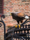 Bird of prey american harris hawk obeying commands given by a falconer Royalty Free Stock Photos