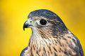 Bird of prey - American Kestrel Royalty Free Stock Photo