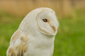 Bird of Prey - Barn Owl Royalty Free Stock Photo