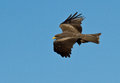 Bird of prey in flight side view a with black feathers blue sky background Stock Photography