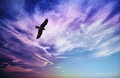 Bird of prey fly in blue cloudy sky Royalty Free Stock Image