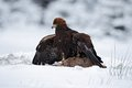 Bird of prey Golden Eagle with kill hare in winter with snow Royalty Free Stock Photo