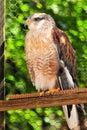 Bird of prey, Merlin Stock Photos