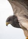Bird of prey photo a Royalty Free Stock Photos