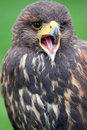 Bird of prey photo a Royalty Free Stock Photography