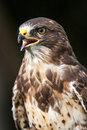 Bird of prey photo a Stock Images