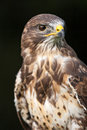 Bird of prey photo a Stock Image