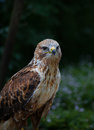 Bird of prey a in resting position Stock Photos