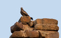 Bird of prey resting on the top a old stone wall Royalty Free Stock Image