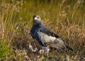 Bird of prey sitting on the ground with the loot chile argentina patagonia south america Stock Photo