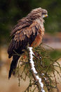 Bird of prey on the tree branch. Black Kite, Milvus migrans, brown bird of prey sitting larch tree branch, animal in the nature ha Royalty Free Stock Photo