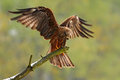 Bird of prey on the tree branch. Black Kite, Milvus migrans, brown bird sitting larch tree branch with open wing. Animal in the na Royalty Free Stock Photo