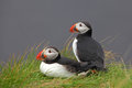 Bird puffin in iceland country Stock Photo