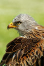 Bird red kite Stock Images