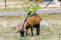 Bird rest on a goat image of Stock Photo
